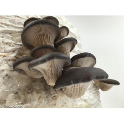 Blue Oyster Mushroom Spore PRINT