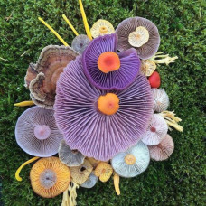 Gourmet Mushroom Cultures - Custom Amount