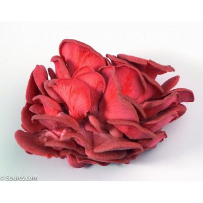 Pink Oyster Mushroom Culture Syringe