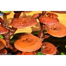 Reishi Mushrooms Spore PRINT